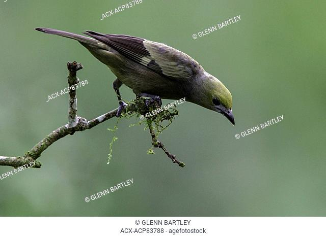 Palm Tanager (Thraupis palmarum) perched on a branch in Manu National Park, Peru