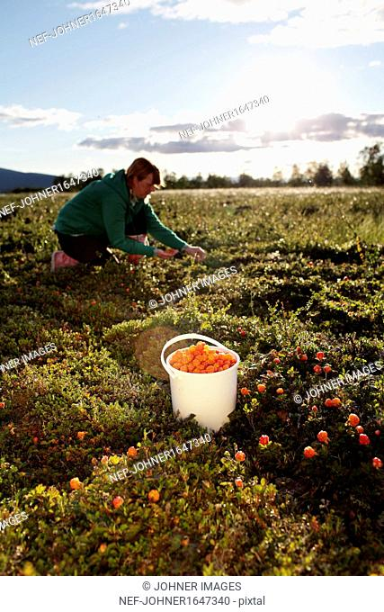 Woman picking cloudberries