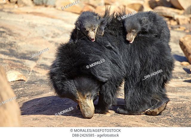 AAsia, India, Karnataka, Sandur Mountain Range, Sloth bear Melursus ursinus, mother with baby, mother carrying babies on the back