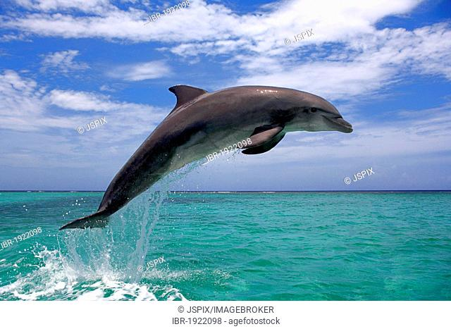 Bottlenose Dolphin (Tursiops truncatus), adult, jumping out of the sea, Roatan, Honduras, Caribbean, Central America, Latin America