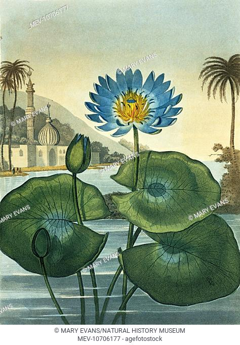 Illustration from The Temple of Flora (1812) by Dr Robert John Thornton (1768-1837)