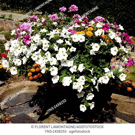 Picture of petunia, geranium and tagetes, flowers potted