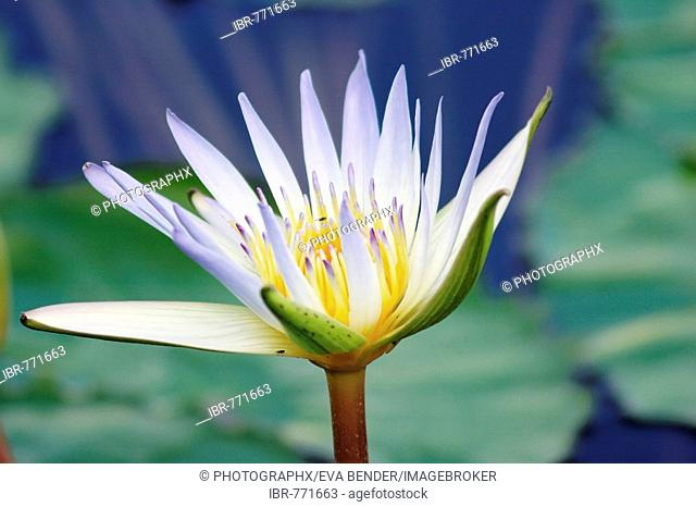 Sacred - or Egyptian Blue Water Lily (Nymphaea caerulea)