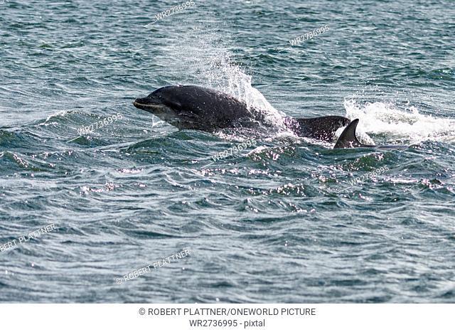United Kingdom, Scotland, Highlands, Fort Isles, Black Isle, Chanonry Point, Tursiops swimming, Bottlenose Dolphins
