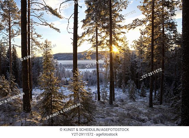 The low winter sun shines through tree trunks in a wintry forest. Kubbe, Västernorrland, Sweden