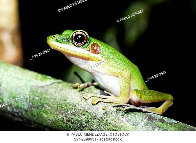 Frog (Hylarana megalonesa) in Kubah national park, Sarawak, Malaysia, Borneo