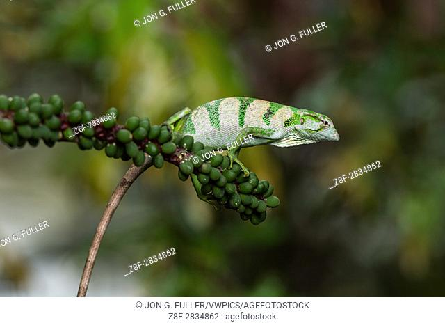 The Canopy Lizard or Berthold's Bush Anole, Polychrus gutturosus, is an arboreal lizard found throughout Central America from Honduras down to Ecuador in South...