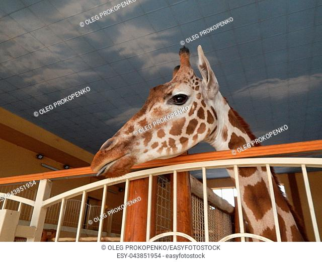 Giraffe indoor head and foot details