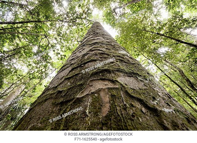 Looking up the trunk of a large kauri tree Agathis australis in Trounson Kauri Park, Northland, New Zealand