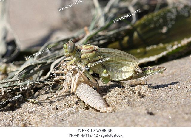 Yellow-legged Dragonfly Gomphus flavipes - IJssel, Overijssel, The Netherlands, Holland, Europe