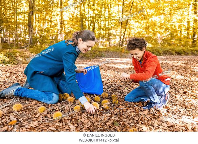 Mother and son collecting sweet chestnuts in the autumnal forest