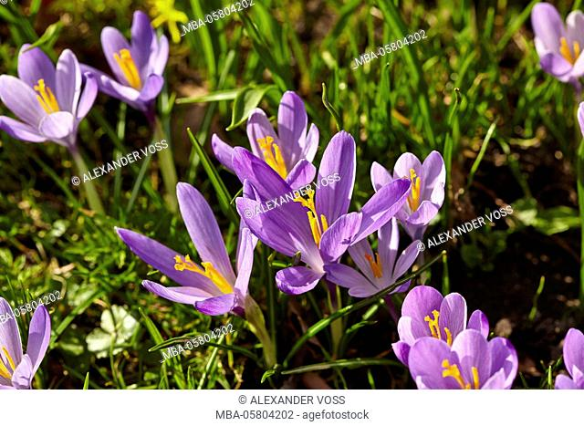 lilac crocuses (Crocus napolitanus) in the castle grounds of the 'Schloss vor Husum' (castle)