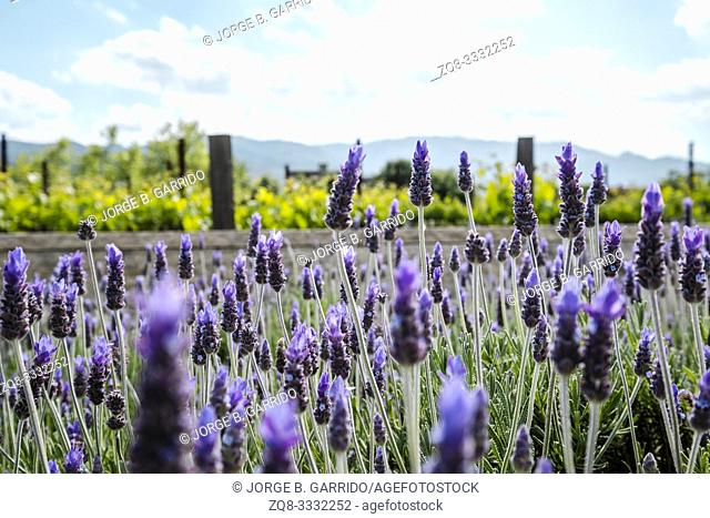 Fields of Lavender out side of HALL Wines St. Helena Napa Valley, California