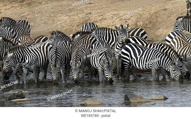 Zebras drinking from river. Masai Mara National Reserve, Kenya