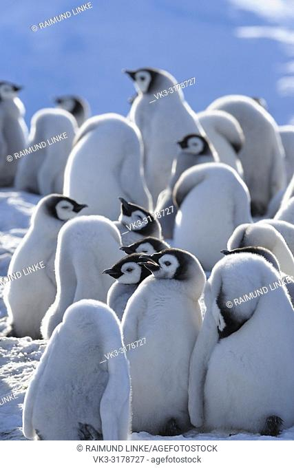Emperor penguins, Aptenodytes forsteri, Group of Chicks, Snow Hill Island, Antartic Peninsula, Antarctica