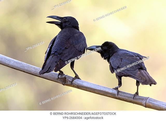 two Jungle crows, (Corvus macrorhynchos), mutual preening, Tadoba National Park, Maharashtra, India