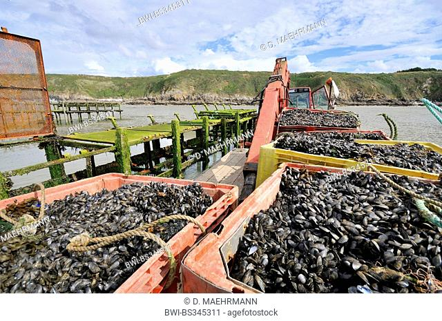 blue mussel, bay mussel, common mussel, common blue mussel (Mytilus edulis), filled baskets at a mussel farm at low tide, France, Brittany, Jospinet