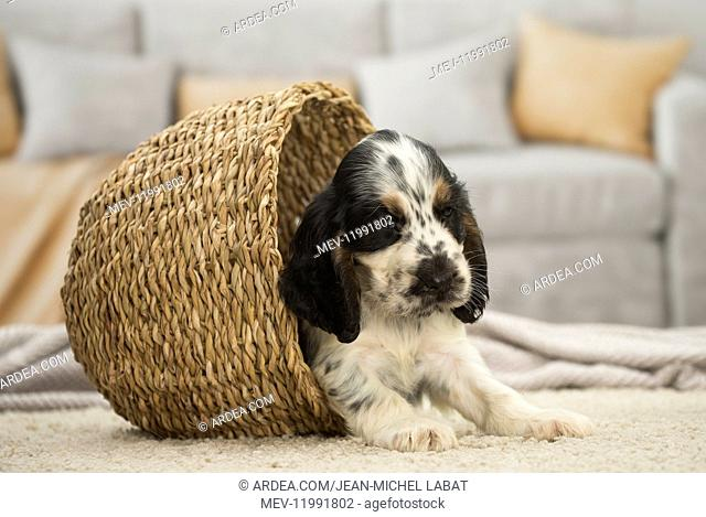 English Cocker Spaniel Dog, puppy English Cocker Spaniel Dog, puppy
