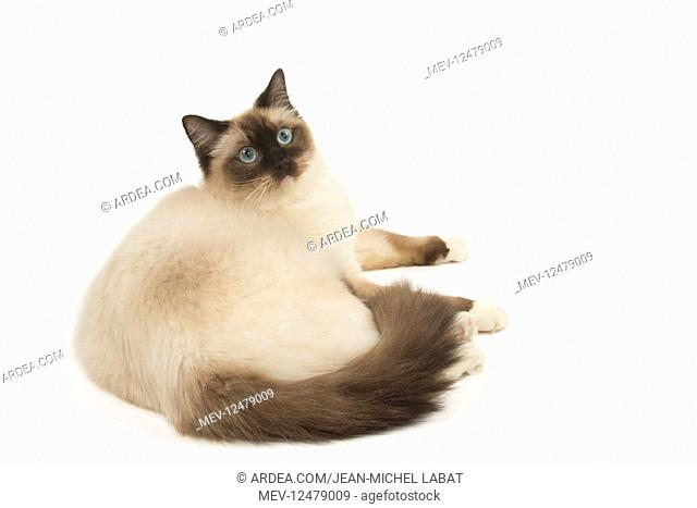 Ragdoll cat in the studio
