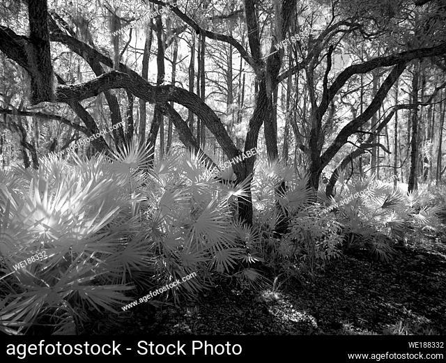 Black & White infrared red image taken in Lemon Bay Park in Englewood Florida , United States