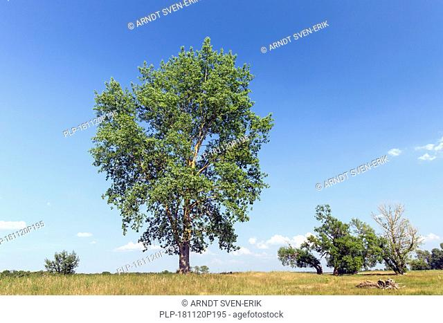 Black poplar (Populus nigra) tree in summer, species of cottonwood poplar native to Europe, southwest and central Asia, and northwest Africa