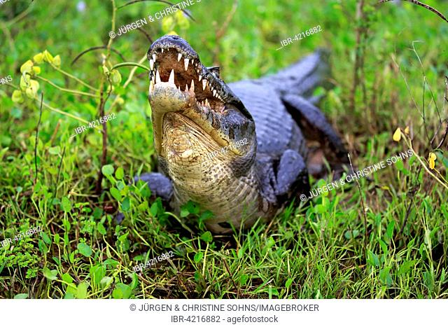 Yacare caiman (Caiman Yacare), adult, on land, with open mouth, Pantanal, Mato Grosso, Brazil