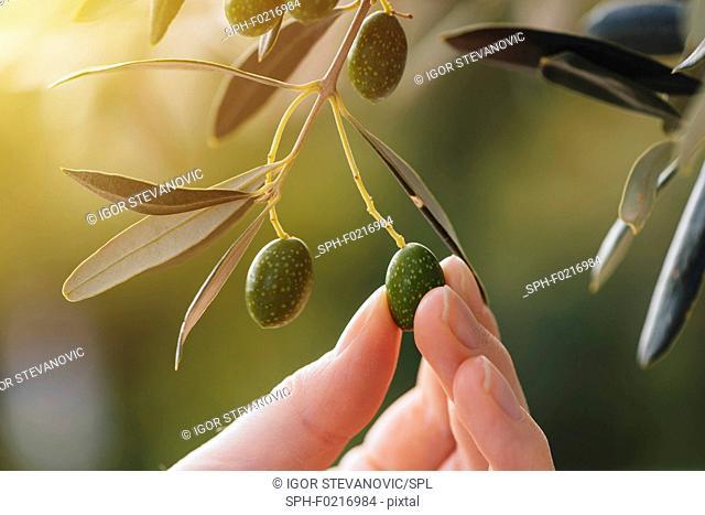 Picking ripe olive
