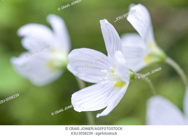 Common Wood Sorrel (Oxalis acetosella) in flower in a woodland in the Mendip Hills, Somerset, England