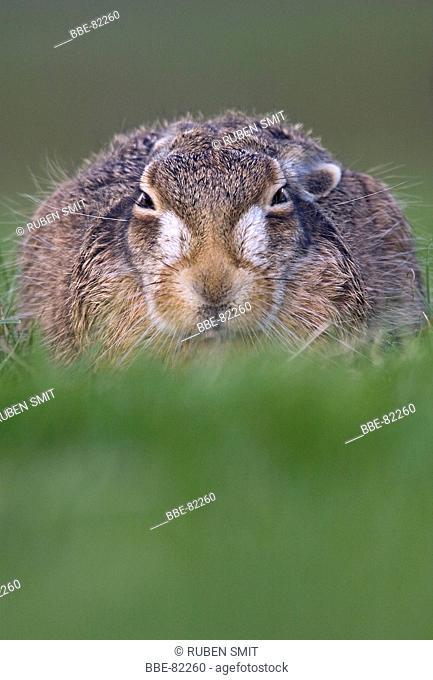 Hare in meadowland alert