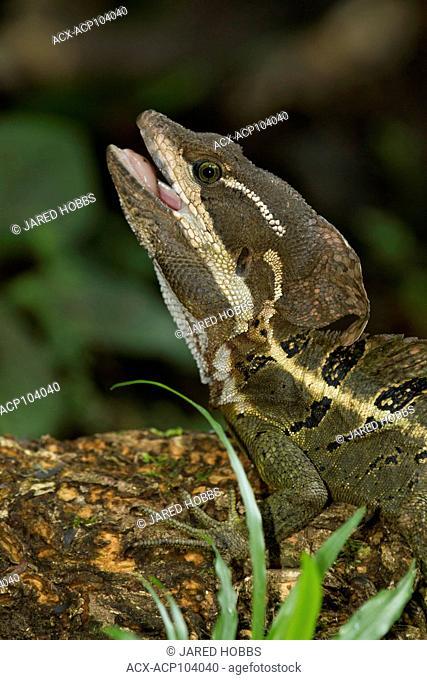 Brown Basilisk, Basiliscus vittatus, Costa Rica, Central America