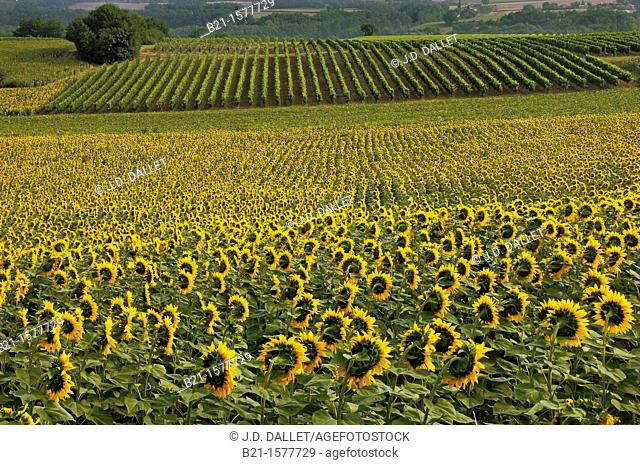 Pilgrimage way to Santiago de Compostela: sunflowers and vine landscape between Condom and Eauze, Gers, Midi-Pyrenees, France