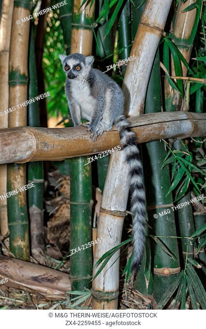 Ring-tailed Lemur (Lemur catta), Berenty nature reserve, Fort Dauphin, Toliara Province, Madagascar