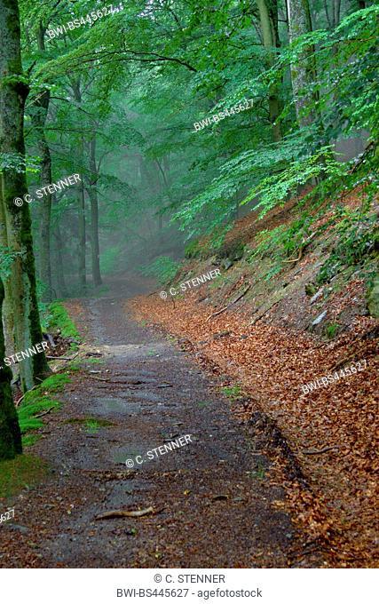 common beech (Fagus sylvatica), forest path at the Rockenburger Urwaldpfad, Germany, Rhineland-Palatinate, Hunsrueck