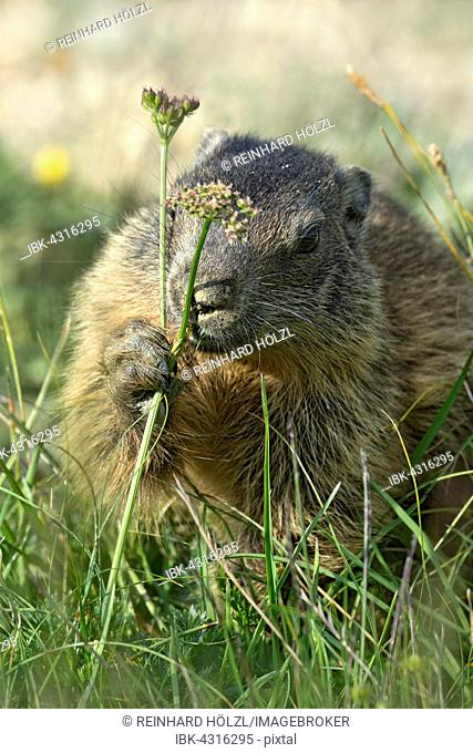 Alpine marmot (Marmota marmota) smelling, Offspring, Alp Trida, Samnaun, Canton of Grisons, Switzerland