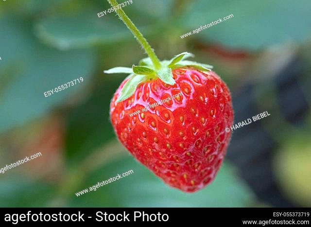 Single ripe strawberry in front of a leaf background