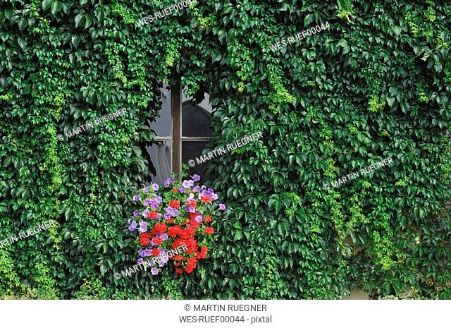 Germany, Bavaria, Window with flowers and ivy, close-up