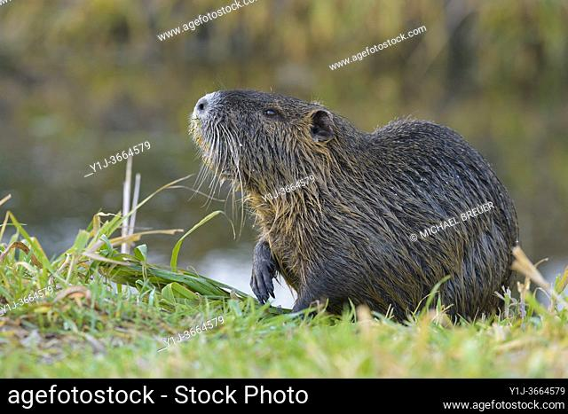Coypu on meadow, Germany, Europe