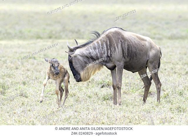 Blue Wildebeest (Connochaetes taurinus) mother with a new born baby trying to stand, Ngorongoro conservation area, Tanzania