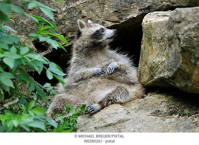 Raccoon, Procyon lotor, Germany