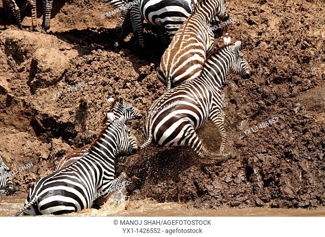 After crossing the river, the zebras climb up the river bank in a hurry to go to the open plains