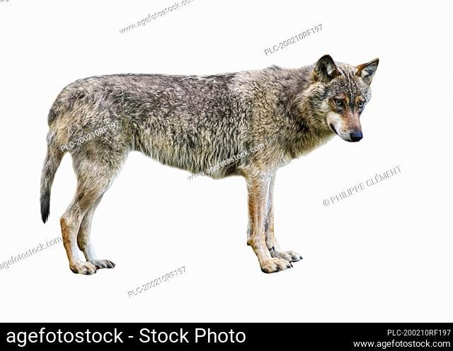 European gray wolf / wild grey wolf (Canis lupus) against white background