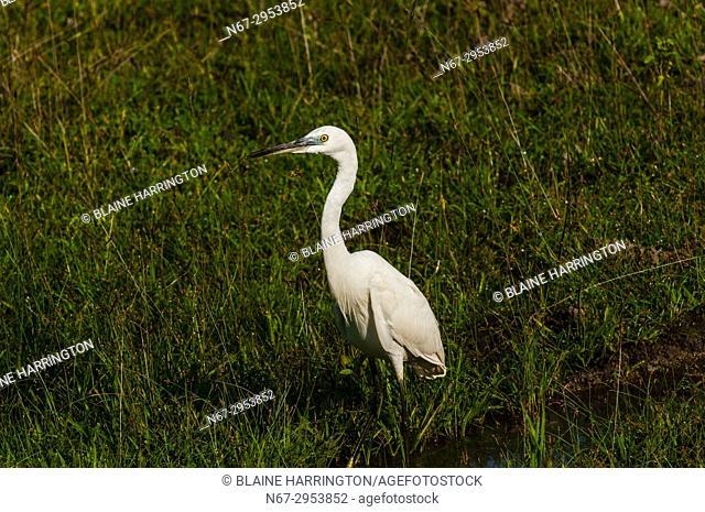 Egret, Yala National Park, Southern Province, Sri Lanka