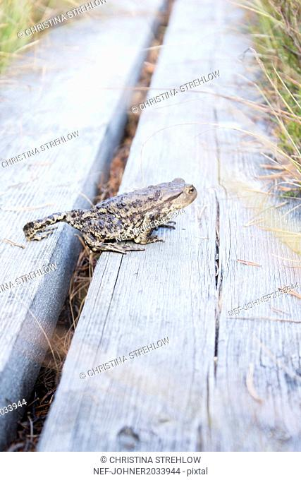 Frog on wooden path