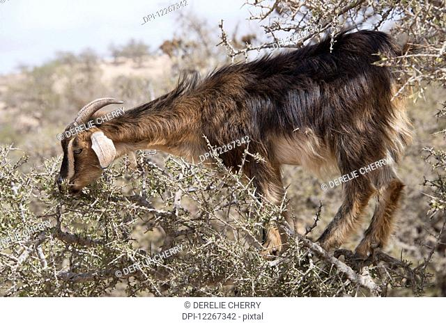 Goat grazing on argan tree standing on limb amongst thorns; Agadir-Ida Ou Tanane, Morocco