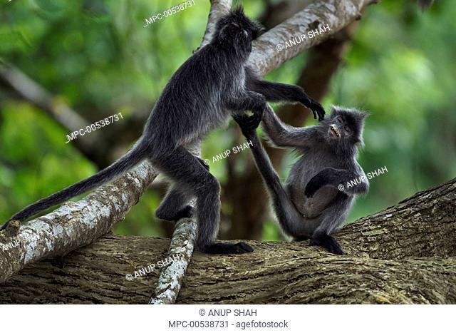 Silvered Leaf Monkey (Trachypithecus cristatus) pair play-fighting, Bako National Park, Sarawak, Borneo, Malaysia