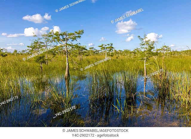 Dwarf Cypress trees in wet grasslands of Everglades National Park in South Florida