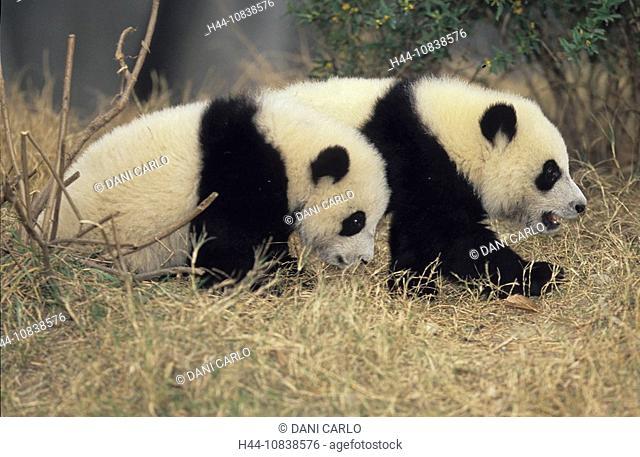 Giant Panda, Ailuropoda Melanoleuca, Chengdu Breeding and Research Base, Xiongmao Jidi, Sichuan, China, Asia, babies