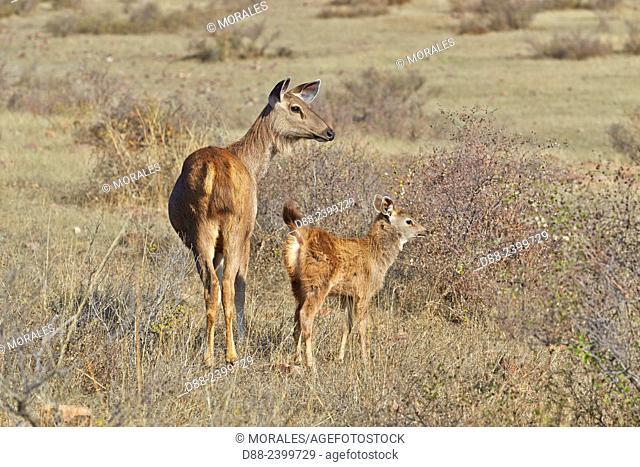 Asia, India, Rajasthan, Ranthambore National Park, Sambar deer (Rusa unicolor), female and young baby