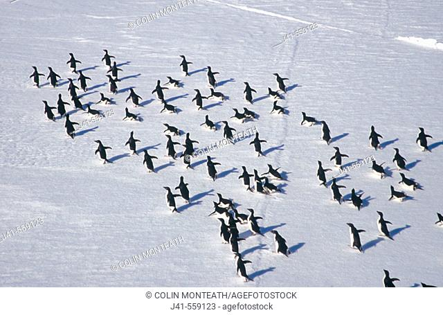 Adelie Penguins (Pygoscelis adeliae). March across ice floes. Dumont d'Urville. Antarctica