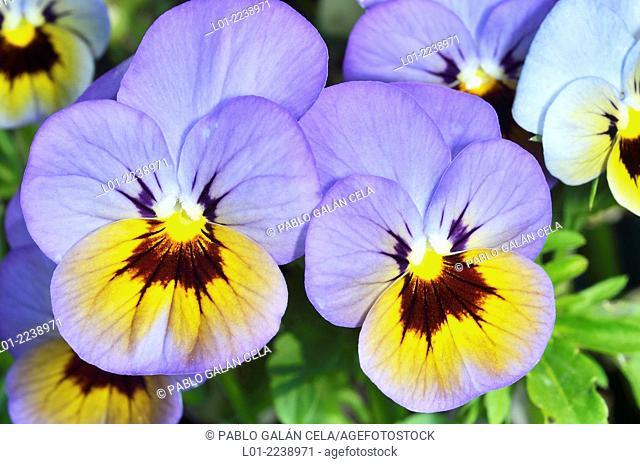 Violetas cultivadas